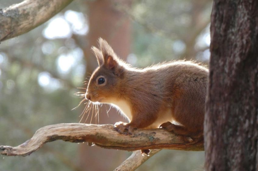 VA May - RediscoverABDN - Amy Lawrence - Red squirrel