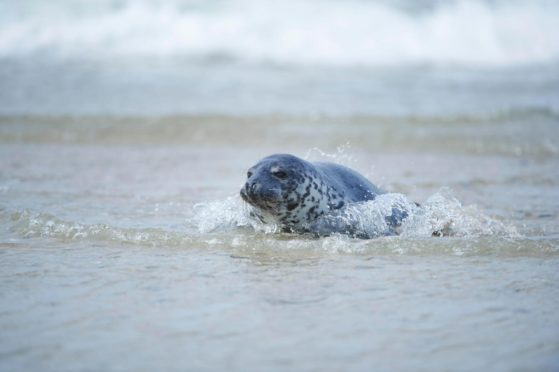 Harbour, or common, seals are becoming a less frequent sight around Orkney. Picture from Shutterstock