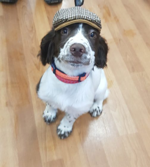 Sidney the springer spaniel posing in John and Wendy Walker's local pet shop in Auchterless.