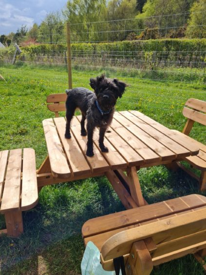 Macduff stands tall on a picnic bench at Westhill dog park in this photo sent in by Kay Duncan, from Peterculter.