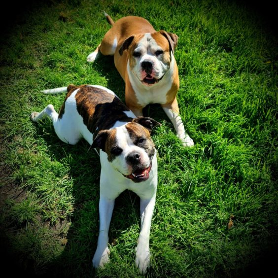 These two American bulldog crosses are Socks, back, and Dexter, front. Thanks to Dylan Cunningham for sending in the pic of the pair sunning themselves in his garden in Aberdeen.