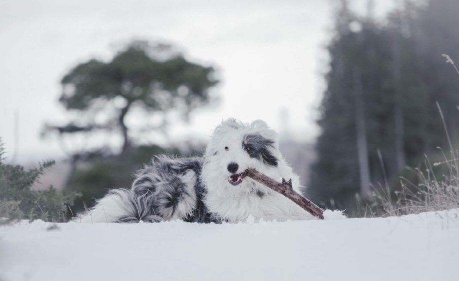 Thanks to Elizabeth Black, from Scaniport, near Inverness, for sending us this pic of Baxter enjoying a good stick at a snowy Scaniport.