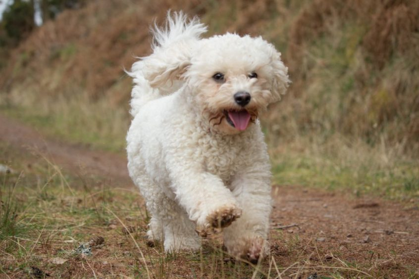 Poppy, enjoying an energetic walk. Pic sent in by Elizabeth Black, from Scaniport, near Inverness.