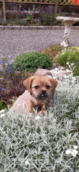 Scruff, a 10-week-old shorkie,  finding his bearings at his forever home with  owners Anna and Peter Scott, from Maud.