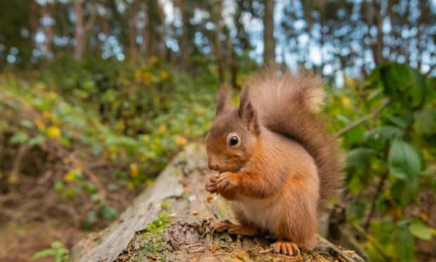 A red squirrel eating a nut on a tree.
