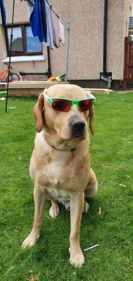 Looking super-cool is four-year-old fox red  Labrador Bailey, who lives with Paula Anne  Harding in Aberdeen.
