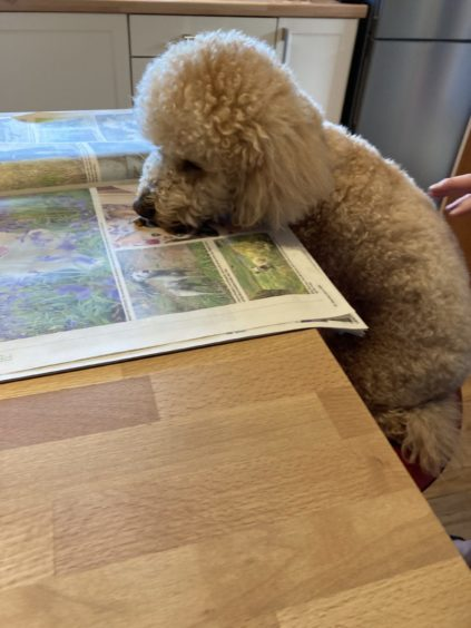 Cooper, who lives in Elgin with Andrew and Gemma Ross, checking out the pet portraits competition in your life!