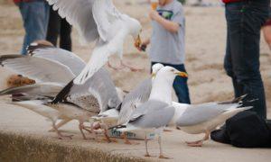 Gulls are causing a stir in Aberdeen.