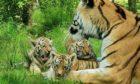 Three Amur tiger cubs at the Highland Wildlife Park have been named Nishka, Layla and  Aleksander.