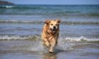 Who needs Baywatch? Golden Retriever Ozzy makes a splash in Cruden Bay while out with Ruth Sneddon.