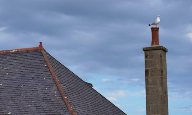 The number of urban gulls in Fraserburgh has increased