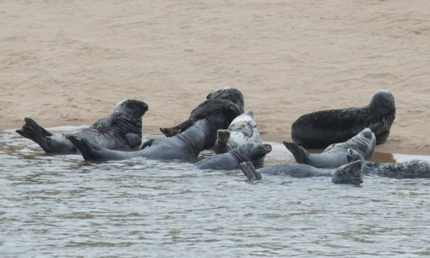 Seals at Newburgh Beach. Picture by Paul Glendell