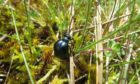 A short neck oil beetle (Meloe brevicollis) on the Isle of Coll