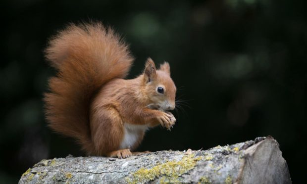 Natural strongholds identified to help red squirrel populations.