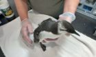 One of the guillemots in recovery at the New Arc wildlife rescue centre in Aberdeenshire. The seabird was severely emaciated.