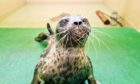 The Scottish SPCA is caring for a ringed seal which is a species normally found in Arctic waters.