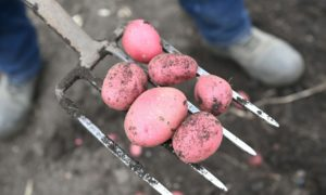 Tatties can be grown in planters in autumn.