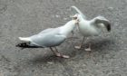 Two seagulls fight it out in Elgin town centre. Picture by Jason Hedges