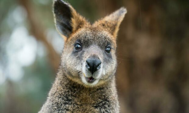 A wallaby like Eddie, who has been missing in Aberdeenshire since Monday.