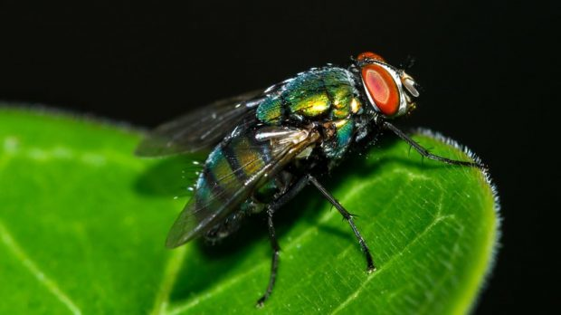 Houseflies could carry hundreds of harmful bacteria