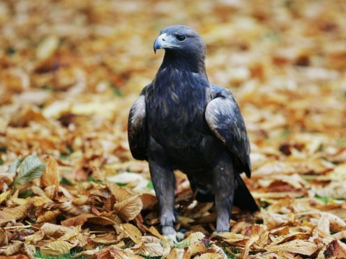 Scientists have mapped out the genome for the golden eagle (Andrew Milligan/PA)