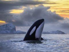 Killer whales populations are under threat (Audun Rikardsen/ PA)