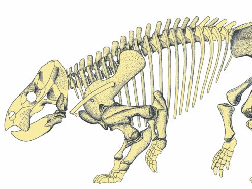Reconstructed skeleton of Lisowicia bojani, an early ancestor of modern mammals the size of an elephant. (Tomasz Sulej/PA)