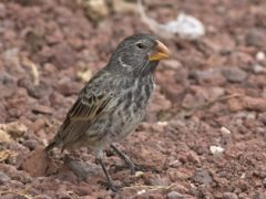 The large ground finch, from the Galapagos Islands, has a much stronger bite in relation to its size than Tyrannosaurus rex (Lip Kee Yap/Wikimedia Commons/PA)