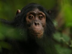 Chimpanzees seemed unfazed by the cameras (Kevin Langergraber/Ngogo Chimpanzee Project/PA)