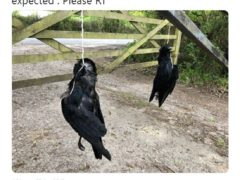 Tweet posted by Chris Packham showing dead crows left hanging outside his home (Chris Packham/PA)