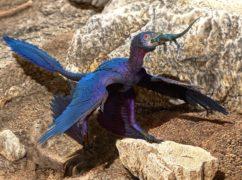 Illustration of the lizard-swallowing Microraptor (Doyle Trankina/PA)
