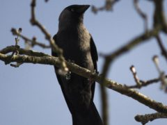 A jackdaw (Guill McIvor/University of Exeter)