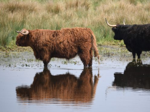 Highland cattle at the National Trust's Wicken Fen Nature Reserve in Cambridgeshire (Joe Giddens/PA)