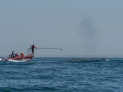 Researchers report first recording of a blue whale's heart rate (MS Savoca/PA)