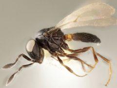A female wasp of the newly described species Idris elba (Elijah Talamas/PA)