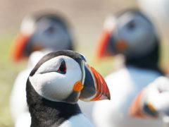 The researchers looked at puffins and many other bird species (Owen Humphreys/PA)