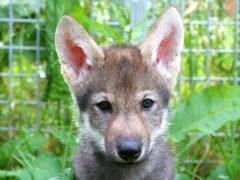 A wolf puppy (Christina Hansen Wheat/PA)