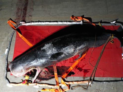 ZSL experts investigate the Thames sperm whale (ZSL-CSIP/PA)