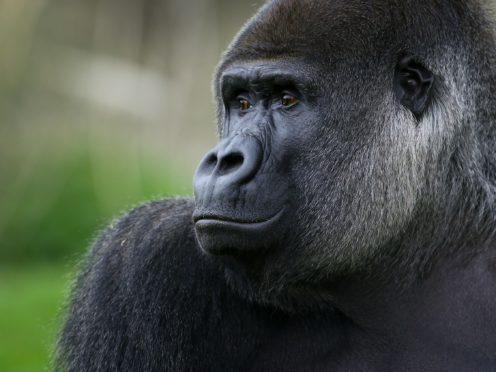 A gorilla (Gareth Fuller/PA)