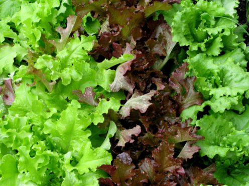 Lettuce grown entirely in space is as nutritious and safe to eat as lettuce grown on Earth, astronauts have reported (Stephen Kelly/PA)