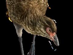 An artist's reconstruction of the world's oldest modern bird, nicknamed the Wonderchicken(Phillip Krzeminski/ PA)