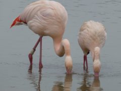 Flamingo friends (Dr Paul Rose/WWT Slimbridge/PA)