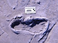 One of the 408 human footprints preserved at Engare Sero (William Harcourt-Smith/Lehman College)