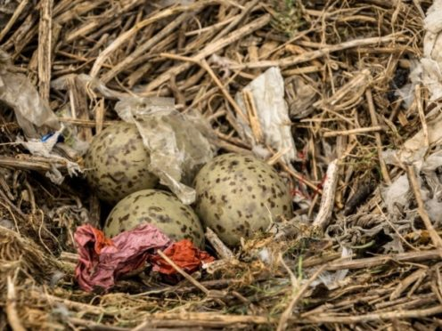 A herring gull nest with plastic (Danni Thompson/PA)