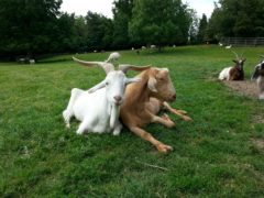 Goats understand human gestures, researchers have found (Dr Christian Nawroth/Leibniz Institute for Farm Animal Biology/PA)