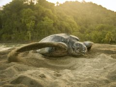 A leatherback turtle making a decoy nest (Jack Rawlinson/PA)