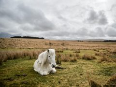A wild pony rests on a grassy patch after a downpour on Dartmoor (PA)