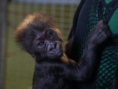 The new infant gorilla has been named Hasani after a public vote (Bristol Zoo Gardens/PA)