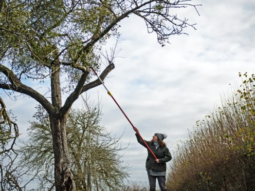 Sarah Starkey, who runs Mistletoe By Post, harvesting mistletoe on Commonwood Farm in Tenbury Wells (Jacob King/PA)