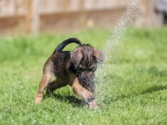 Winston, a 10-week old Border Terrier puppy, uses a garden hose to cool off in near Windsor in Berkshire.